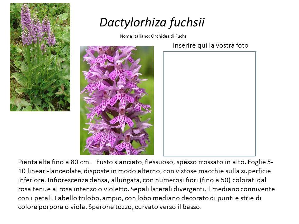 Dactylorhiza fuchsii Inserire qui la vostra foto