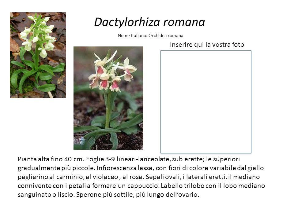 Dactylorhiza romana Inserire qui la vostra foto