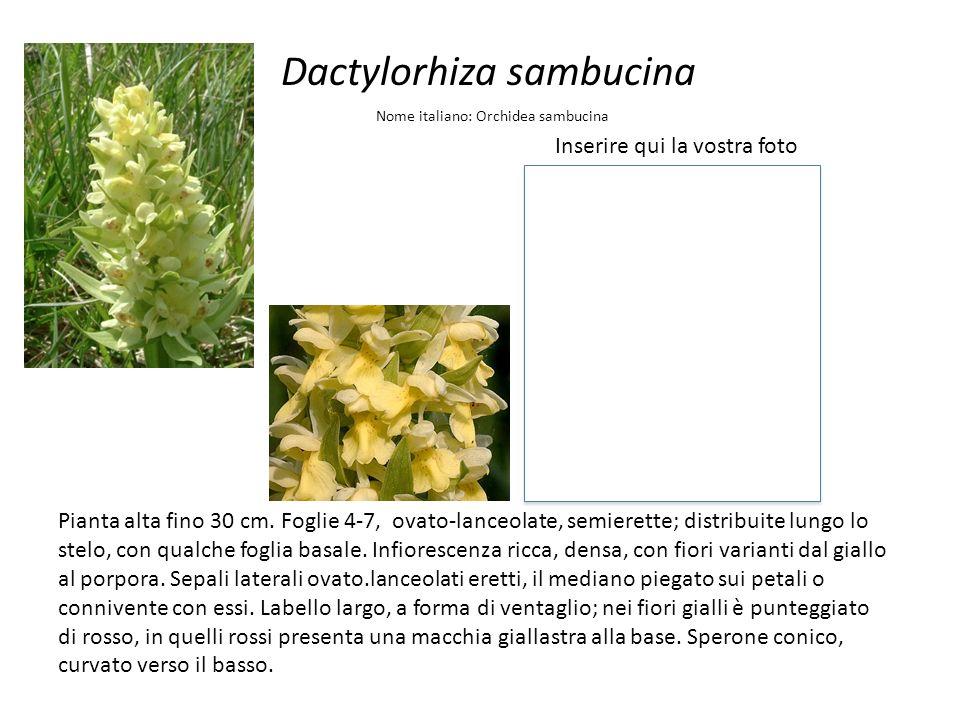 Dactylorhiza sambucina