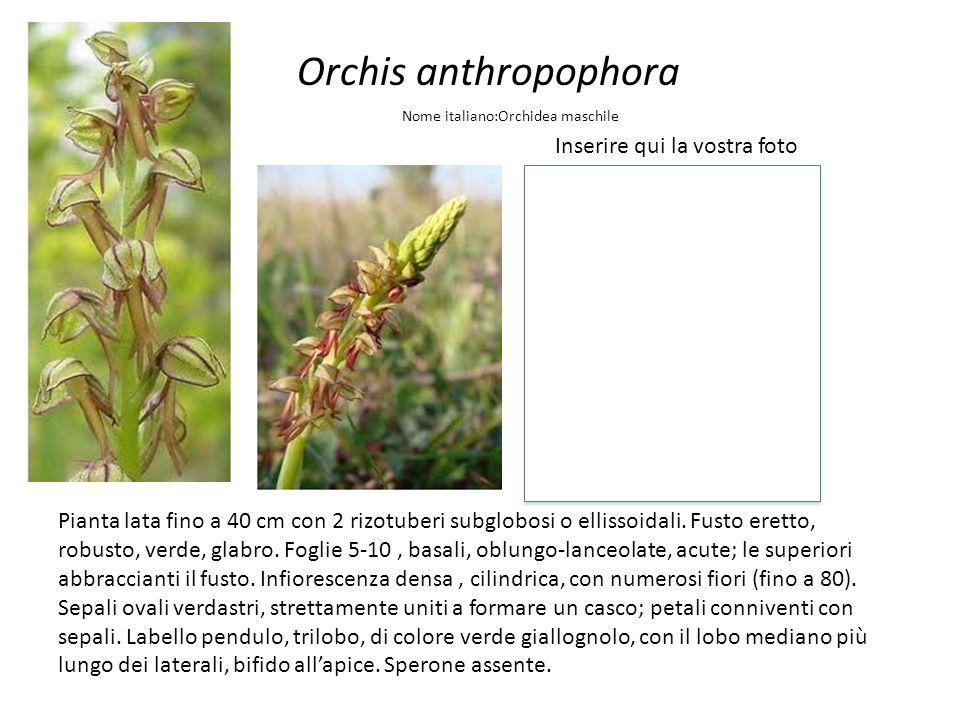 Orchis anthropophora Inserire qui la vostra foto