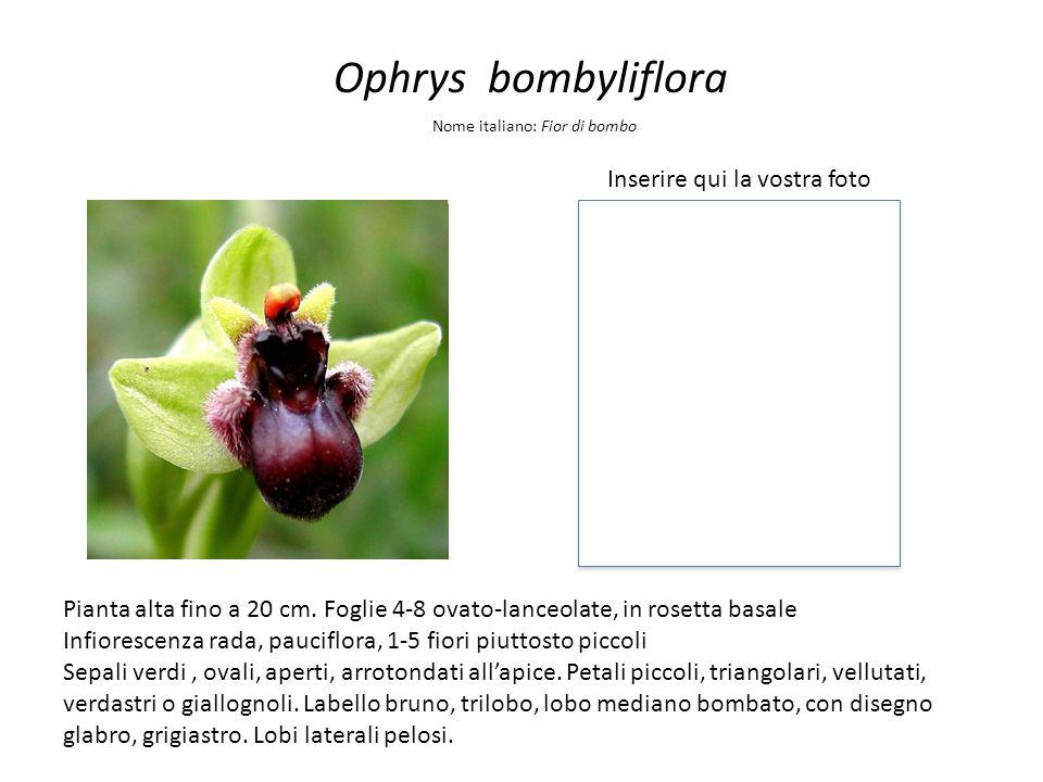 Ophrys bombyliflora Inserire qui la vostra foto