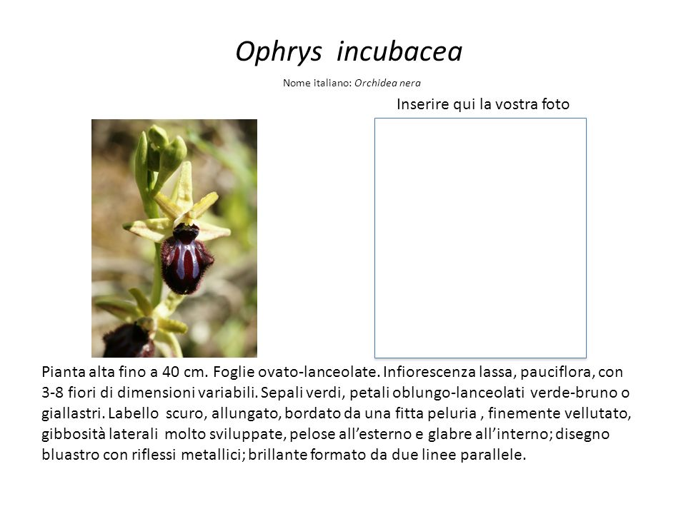 Ophrys incubacea Inserire qui la vostra foto