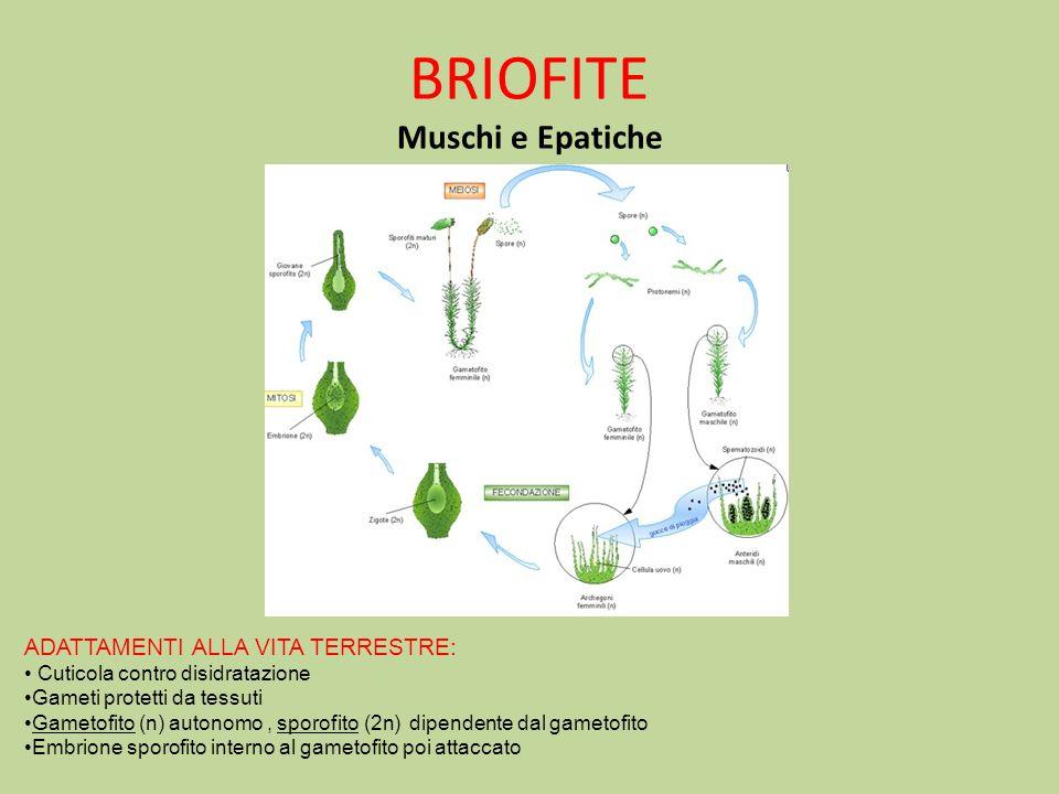 BRIOFITE Muschi e Epatiche