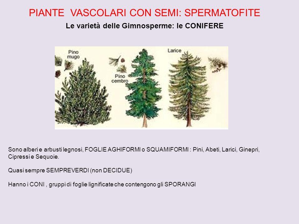 PIANTE VASCOLARI CON SEMI: SPERMATOFITE