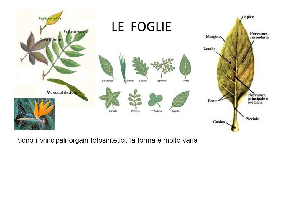 LE FOGLIE Sono i principali organi fotosintetici, la forma è molto varia