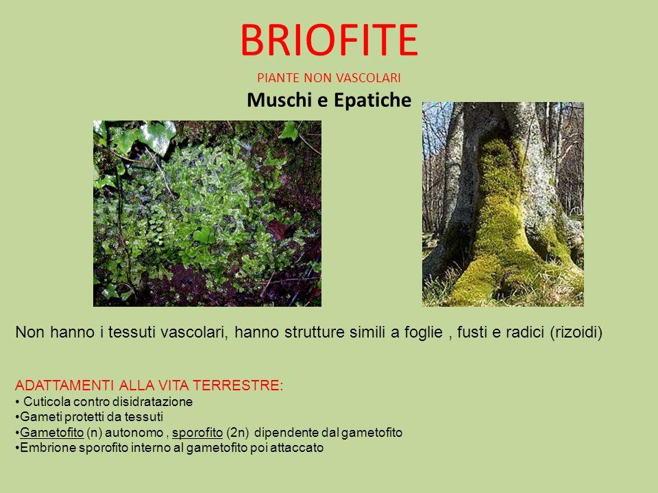 BRIOFITE PIANTE NON VASCOLARI Muschi e Epatiche