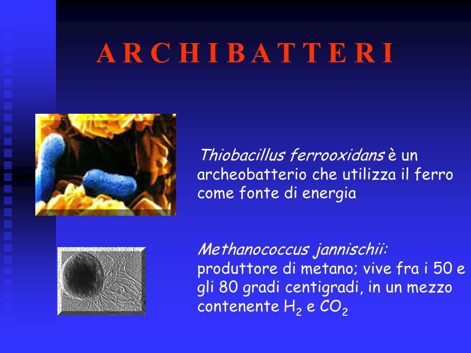 A R C H I B A T T E R IThiobacillus ferrooxidans è un archeobatterio che utilizza il ferro come fonte di energia.