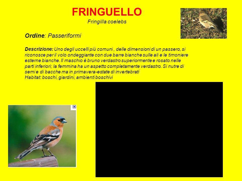 FRINGUELLO Ordine: Passeriformi Fringilla coelebs