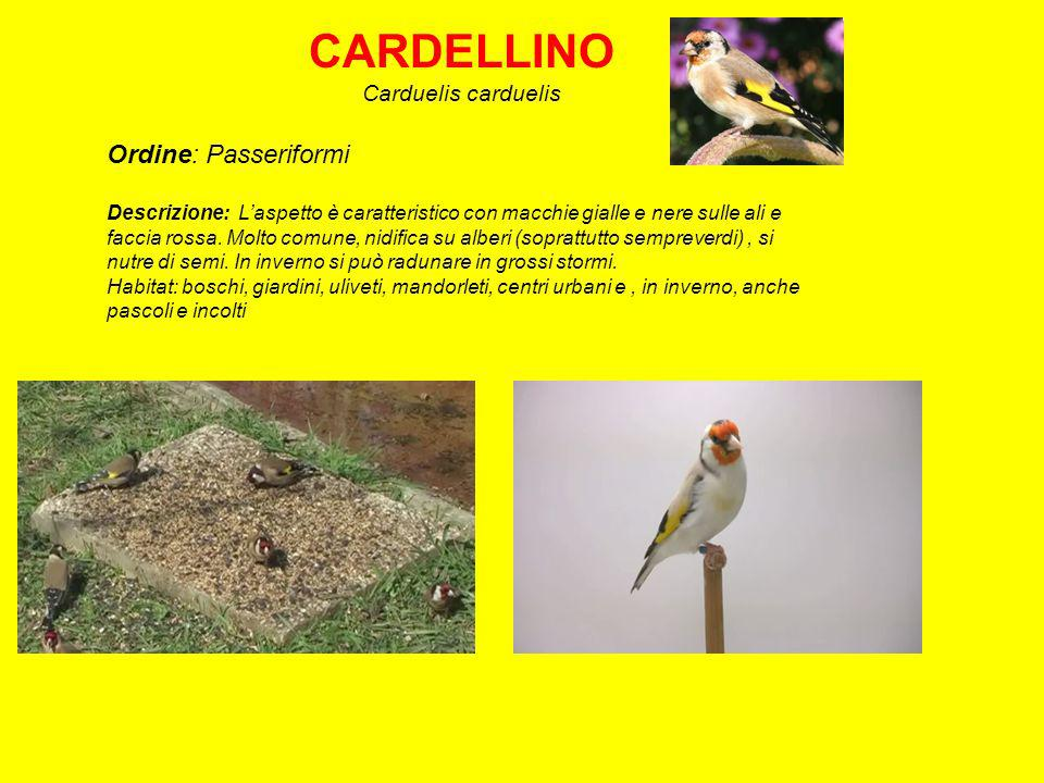 CARDELLINO Ordine: Passeriformi Carduelis carduelis