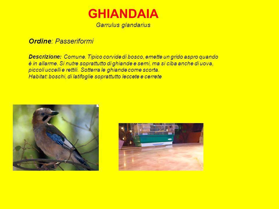 GHIANDAIA Ordine: Passeriformi Garrulus glandarius
