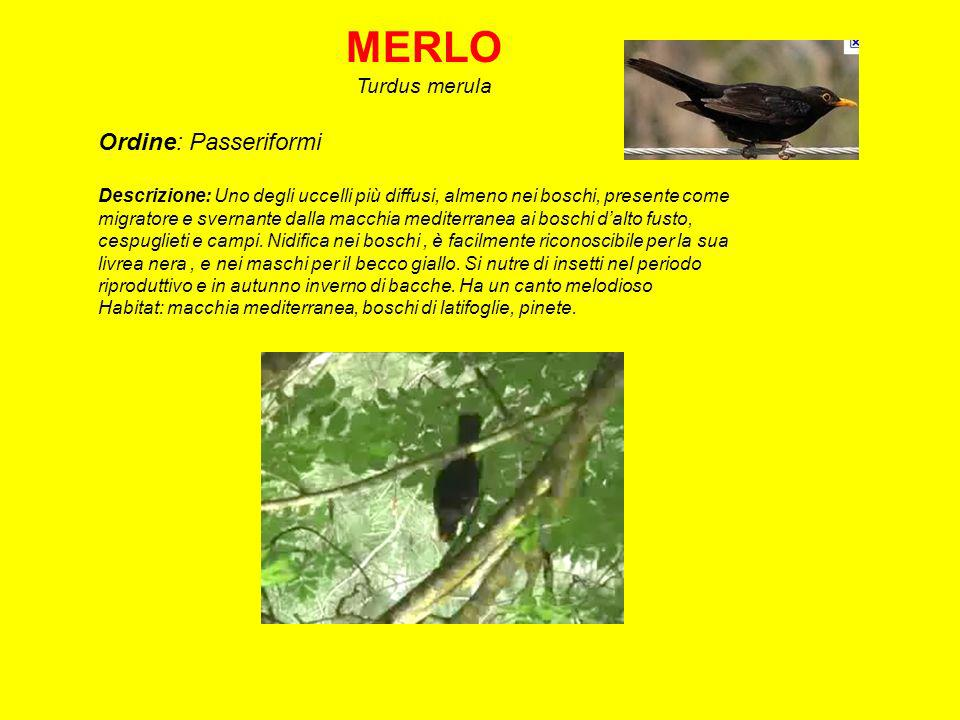 MERLO Ordine: Passeriformi Turdus merula