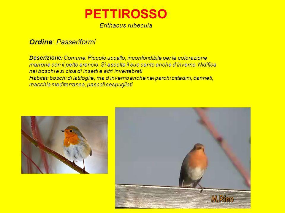 PETTIROSSO Ordine: Passeriformi Erithacus rubecula