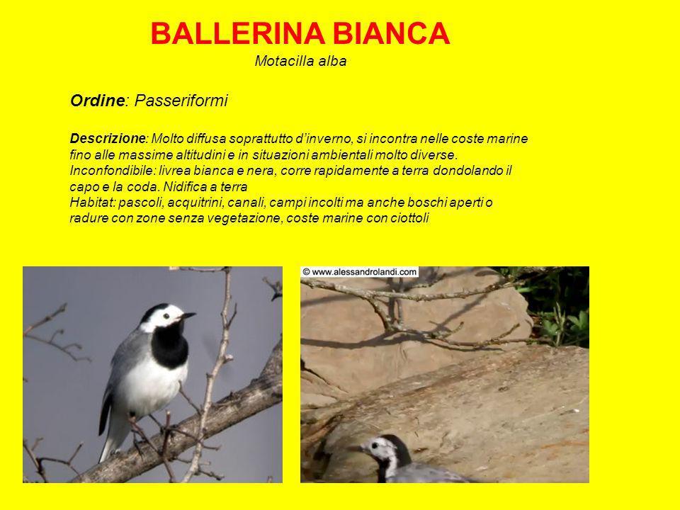 BALLERINA BIANCA Ordine: Passeriformi Motacilla alba