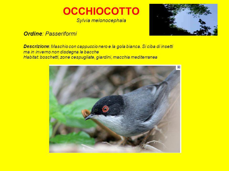 OCCHIOCOTTO Ordine: Passeriformi Sylvia melonocephala