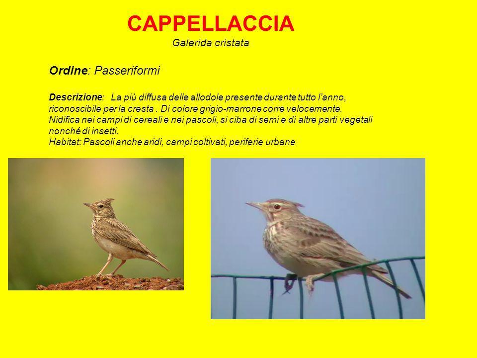 CAPPELLACCIA Ordine: Passeriformi Galerida cristata