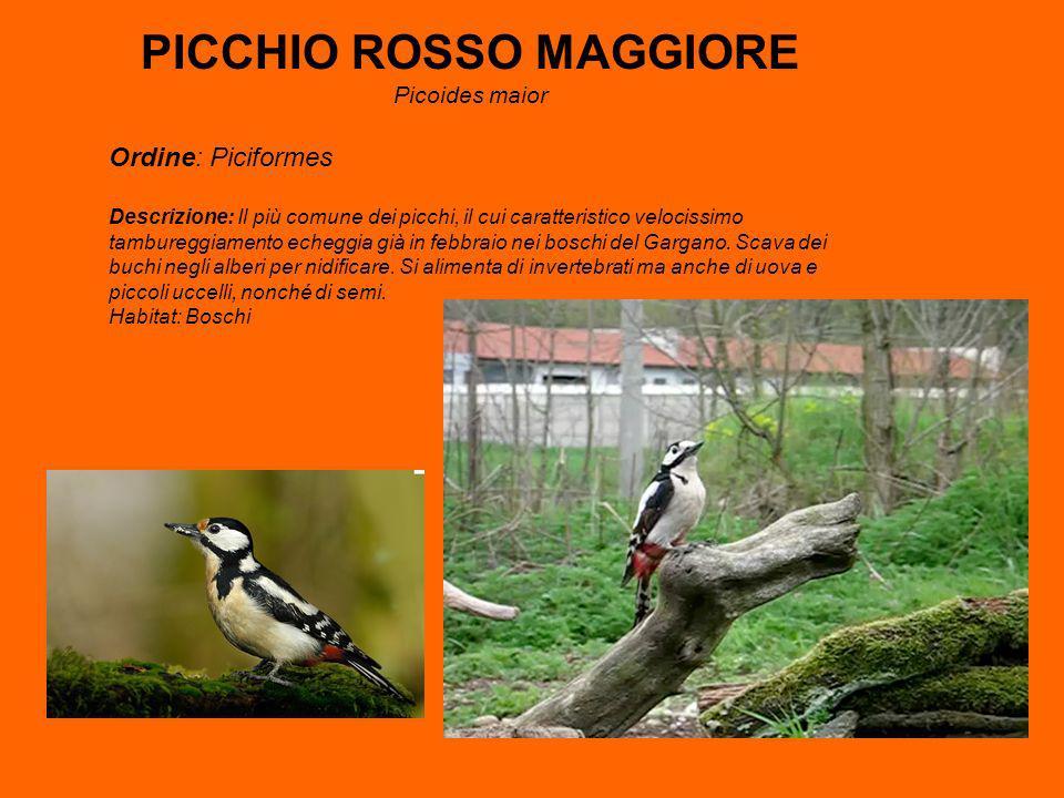 PICCHIO ROSSO MAGGIORE
