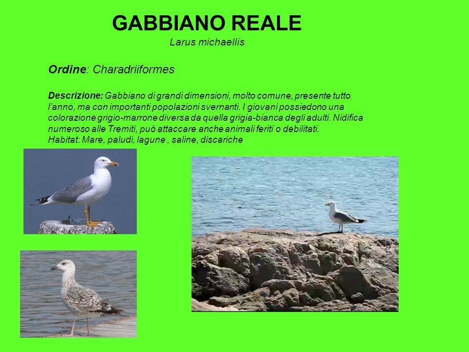 GABBIANO REALE Ordine: Charadriiformes Larus michaellis