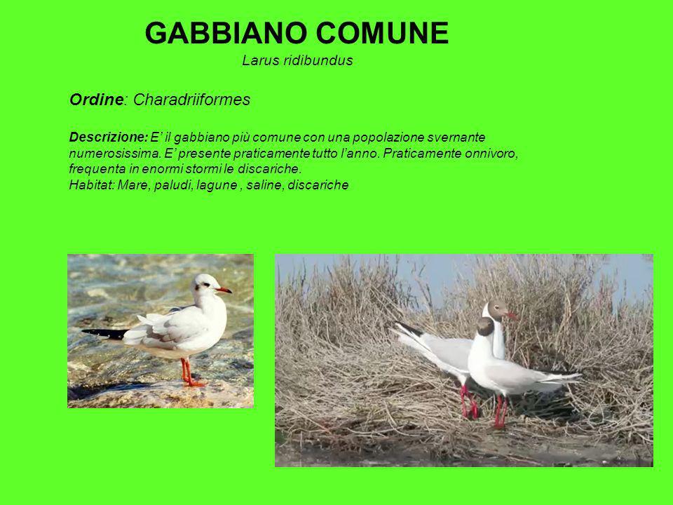 GABBIANO COMUNE Ordine: Charadriiformes Larus ridibundus