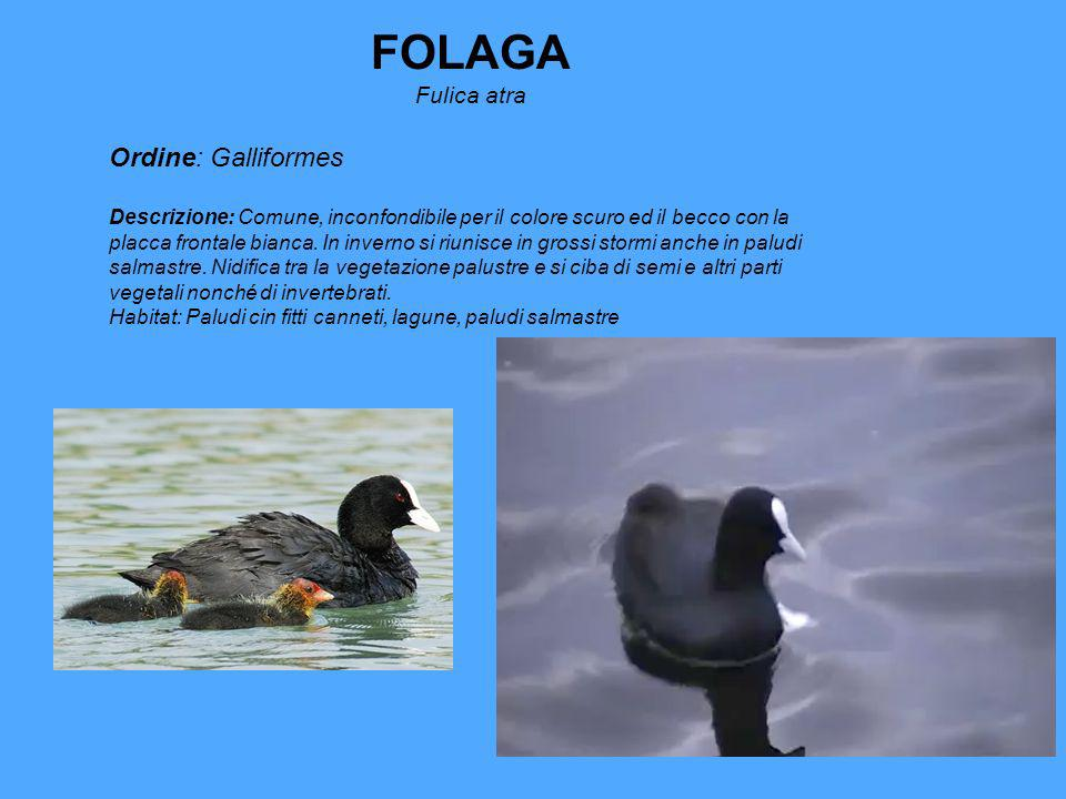 FOLAGA Ordine: Galliformes Fulica atra