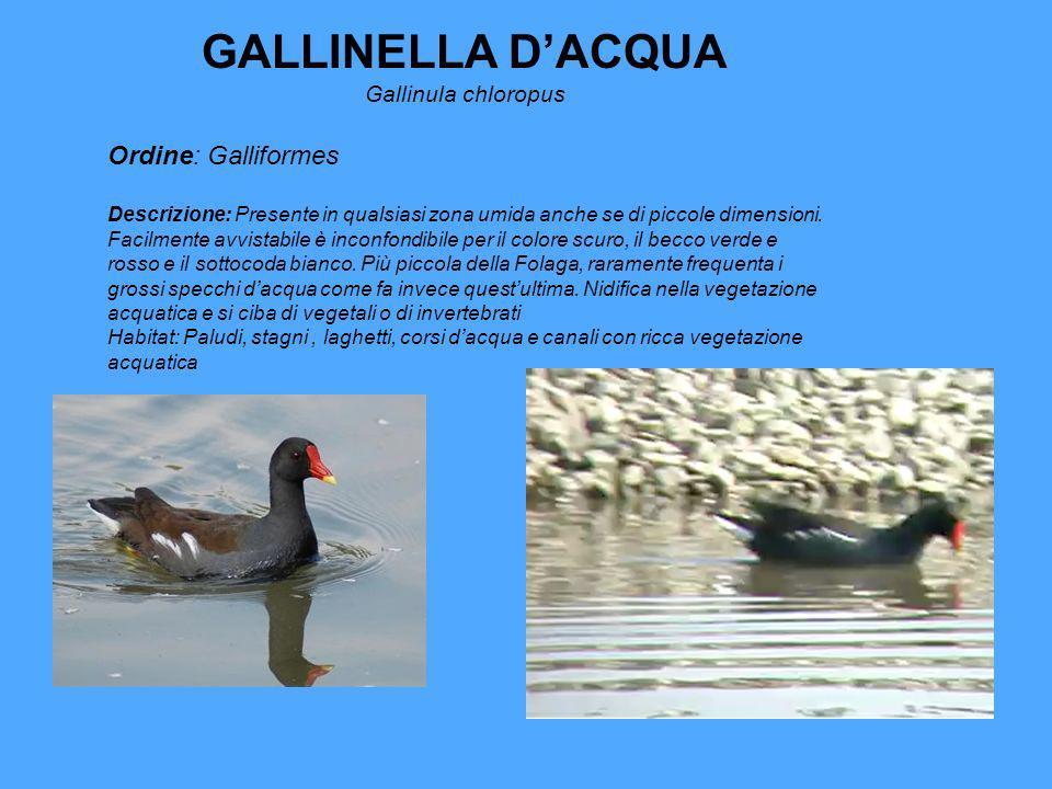 GALLINELLA D'ACQUA Ordine: Galliformes Gallinula chloropus