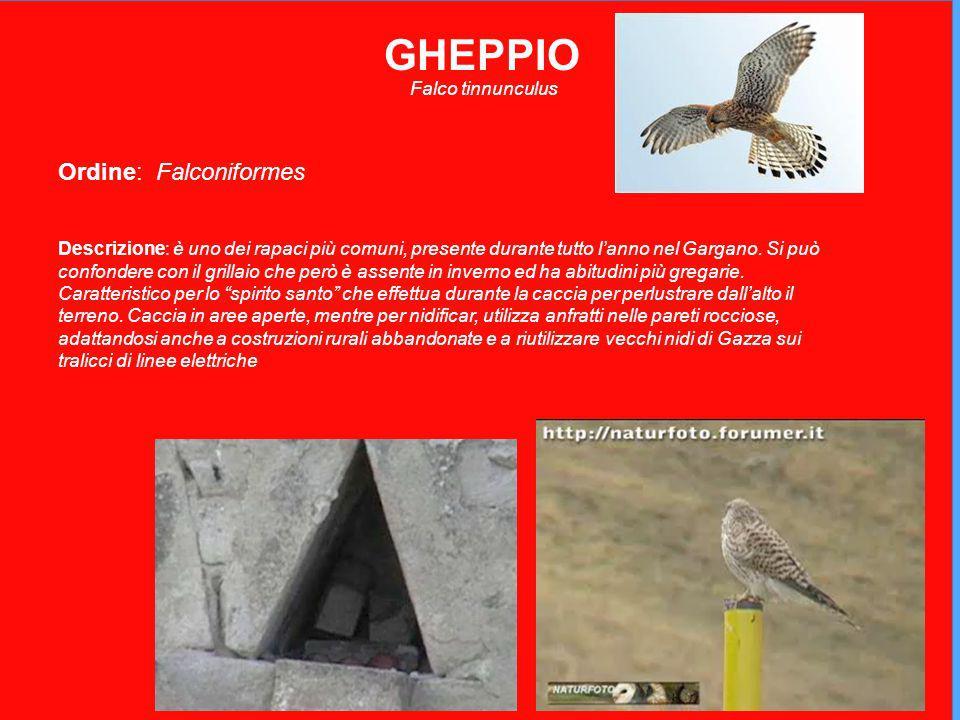 GHEPPIO Ordine: Falconiformes Falco tinnunculus