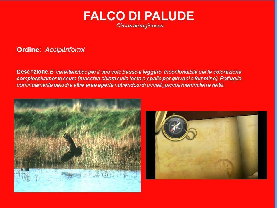 FALCO DI PALUDE Ordine: Accipitriformi Circus aeruginosus