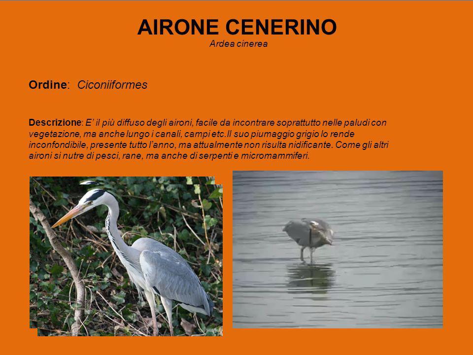 AIRONE CENERINO Ordine: Ciconiiformes Ardea cinerea
