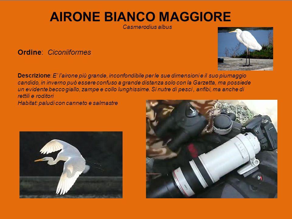 AIRONE BIANCO MAGGIORE