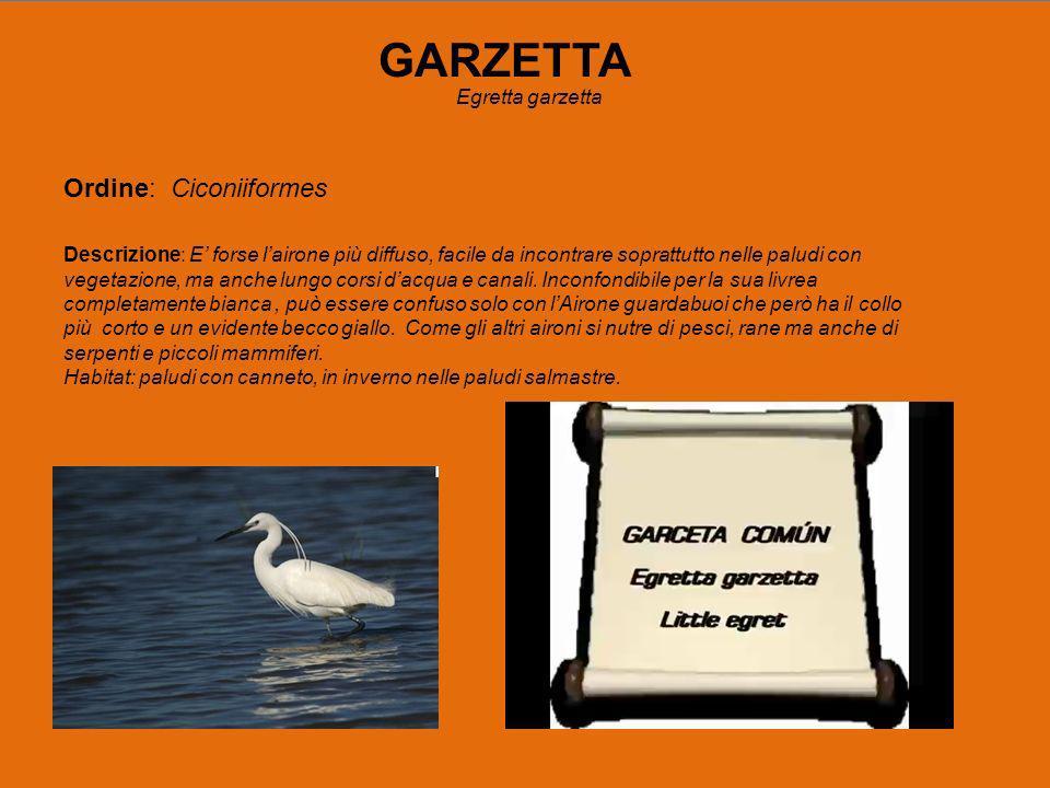 GARZETTA Ordine: Ciconiiformes Egretta garzetta