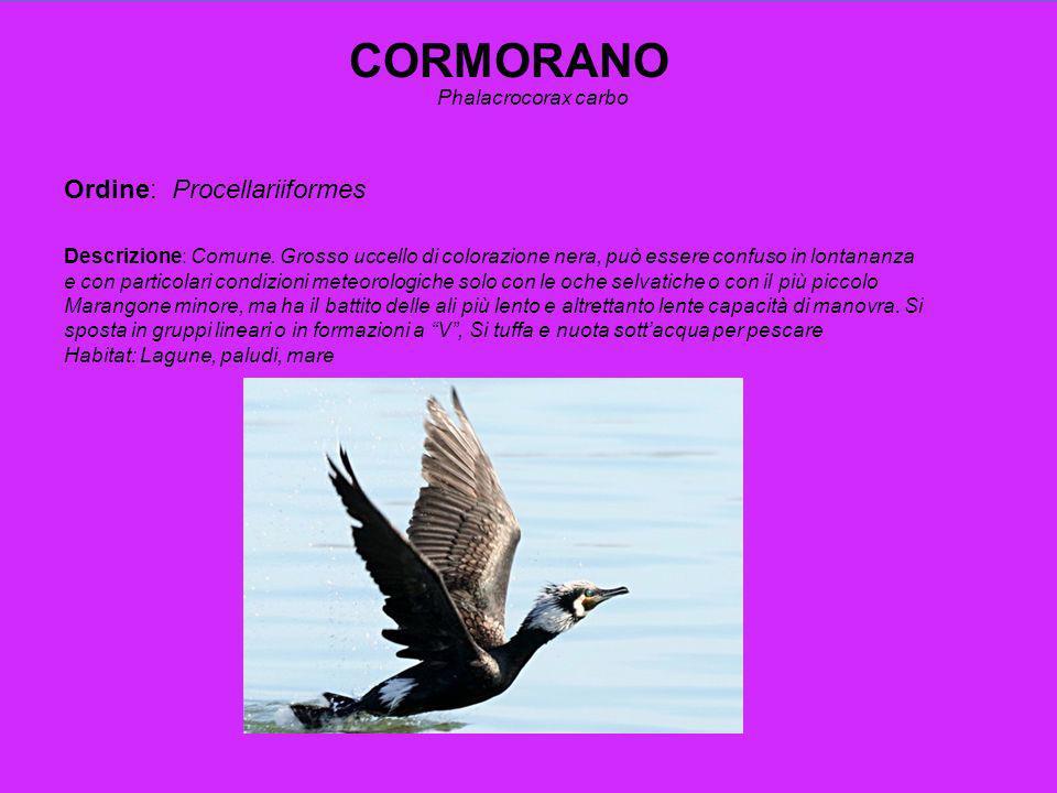 CORMORANO Ordine: Procellariiformes Phalacrocorax carbo