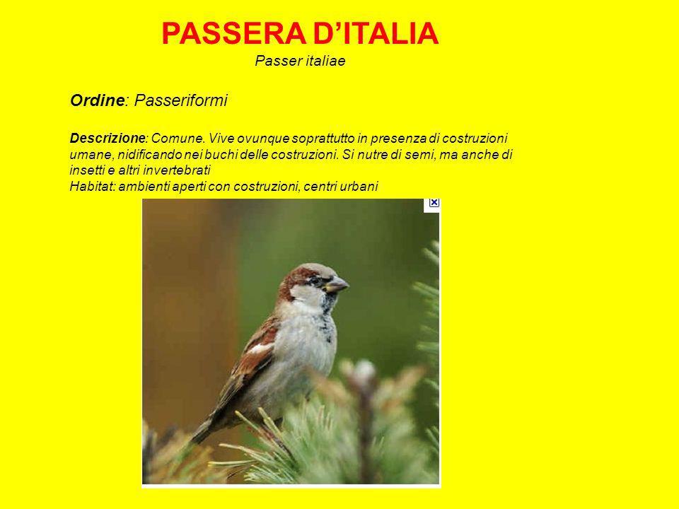 PASSERA D'ITALIA Ordine: Passeriformi Passer italiae