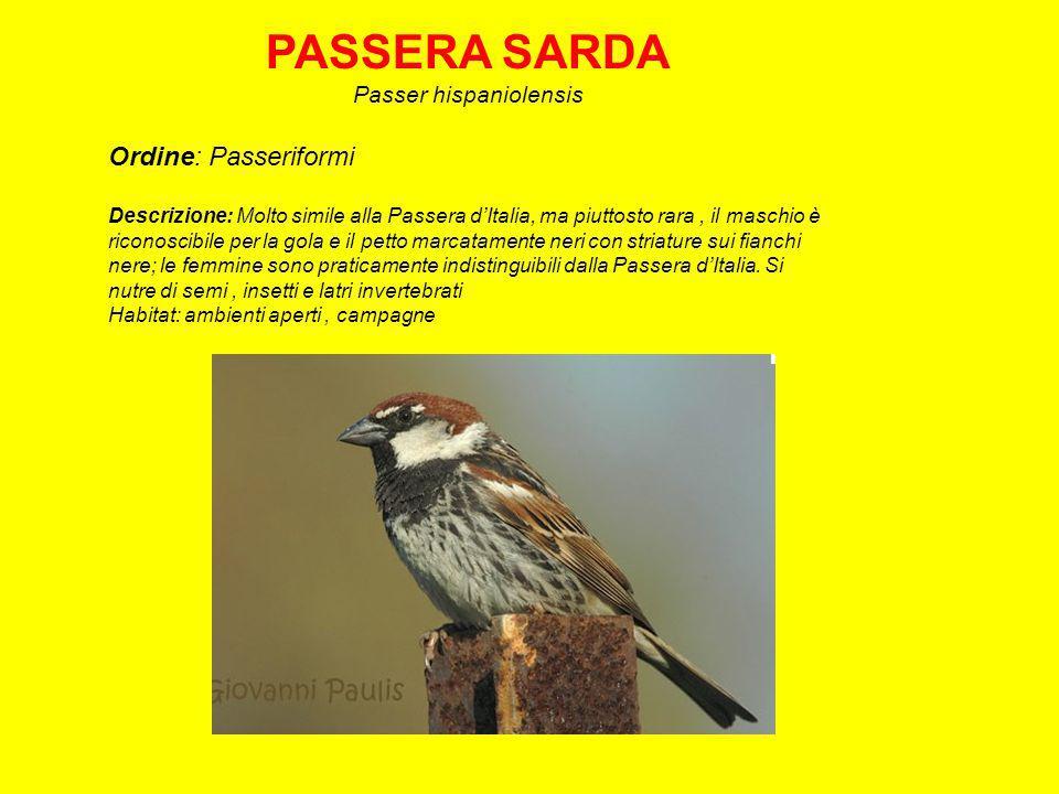 Passer hispaniolensis