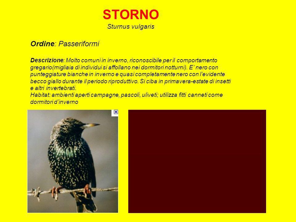 STORNO Ordine: Passeriformi Sturnus vulgaris