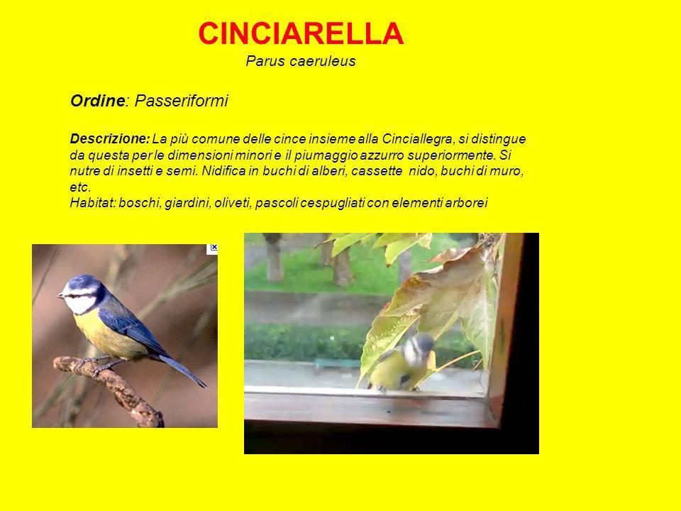 CINCIARELLA Ordine: Passeriformi Parus caeruleus