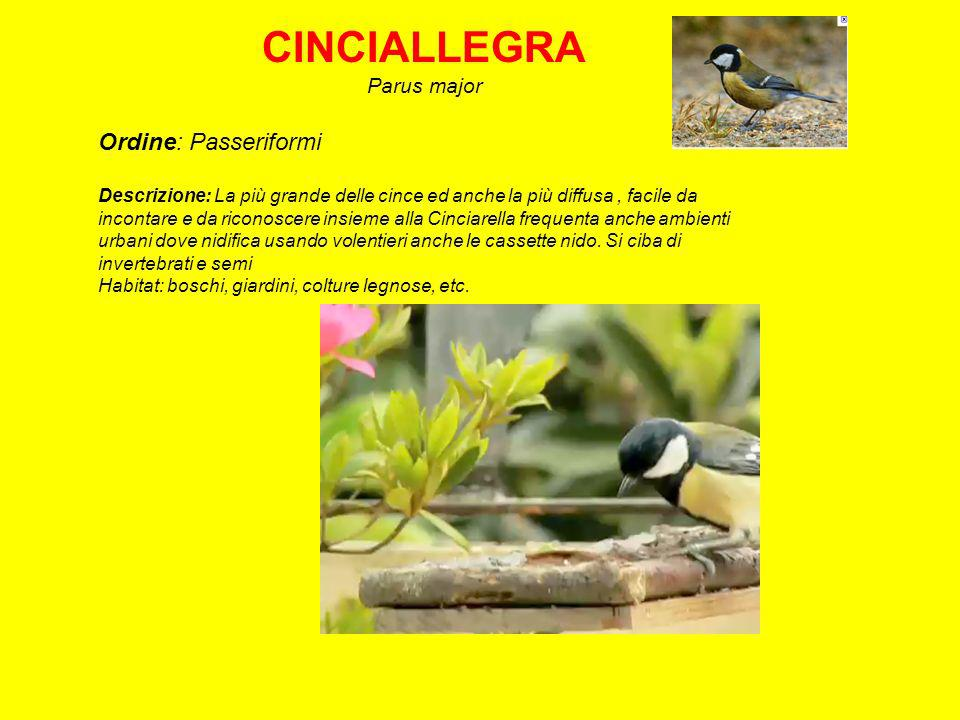 CINCIALLEGRA Ordine: Passeriformi Parus major