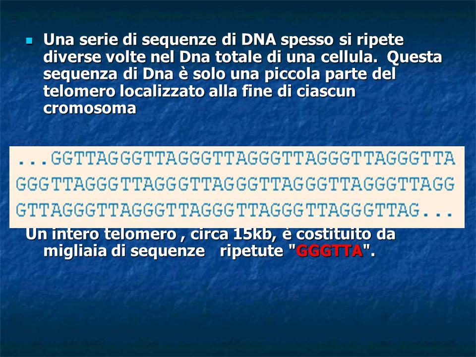Una serie di sequenze di DNA spesso si ripete diverse volte nel Dna totale di una cellula. Questa sequenza di Dna è solo una piccola parte del telomero localizzato alla fine di ciascun cromosoma