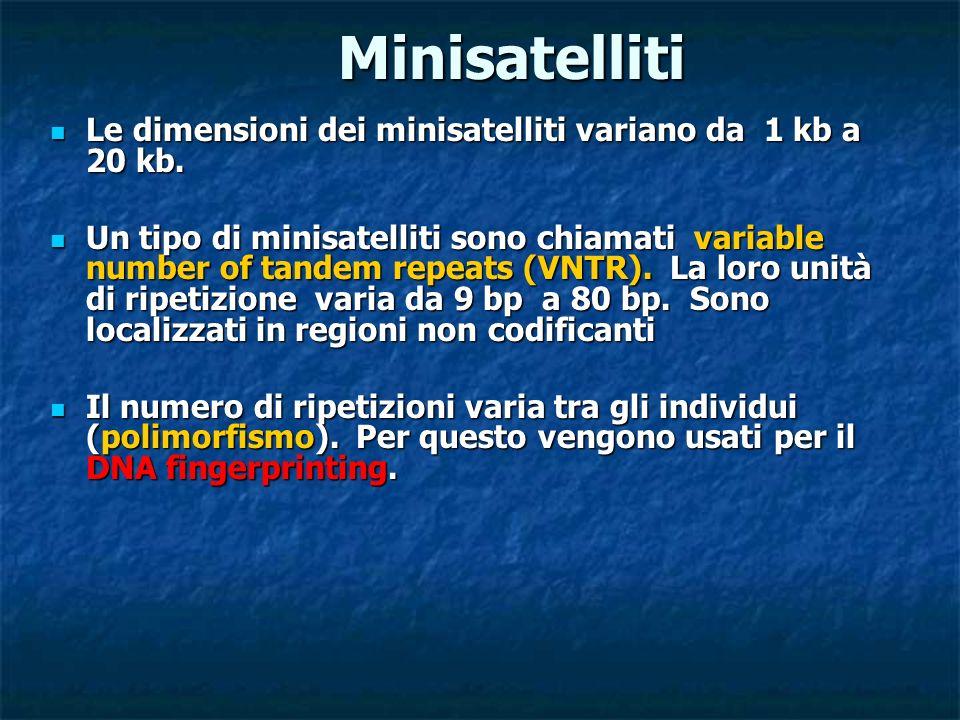 Minisatelliti Le dimensioni dei minisatelliti variano da 1 kb a 20 kb.