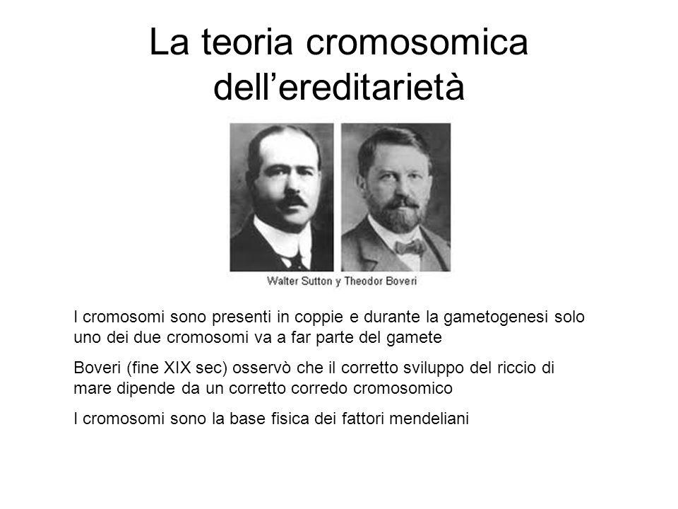 La teoria cromosomica dell'ereditarietà
