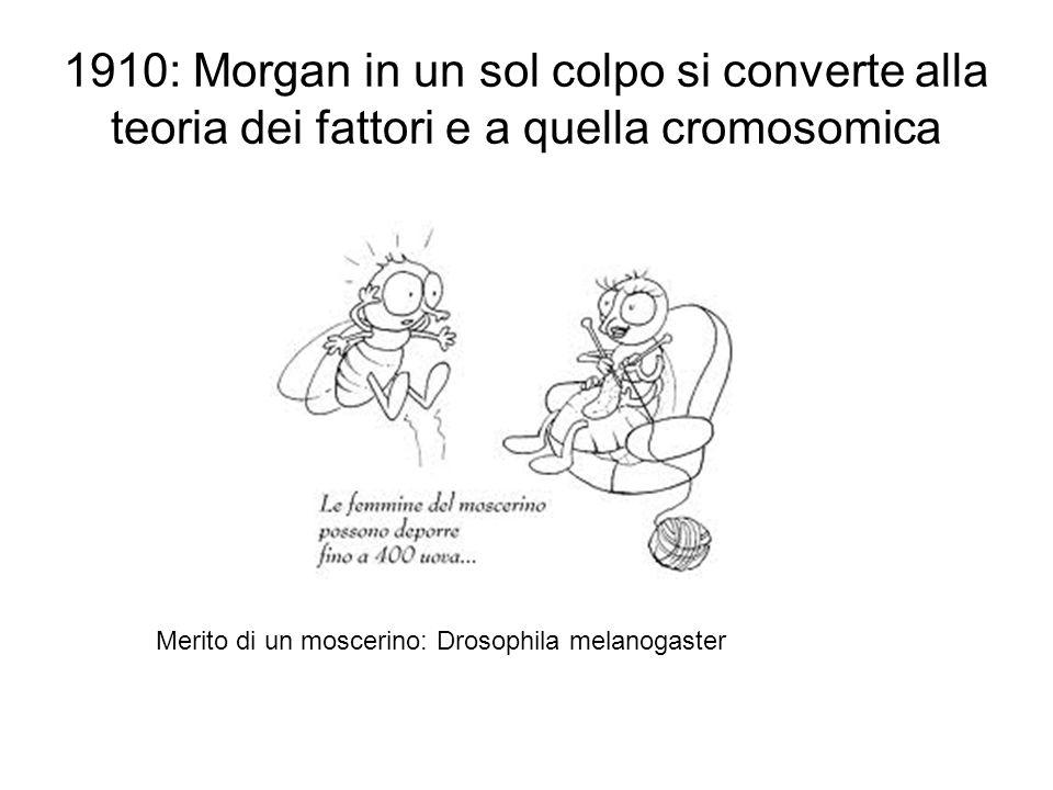 1910: Morgan in un sol colpo si converte alla teoria dei fattori e a quella cromosomica