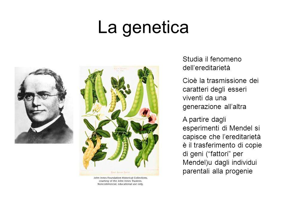 La genetica Studia il fenomeno dell'ereditarietà