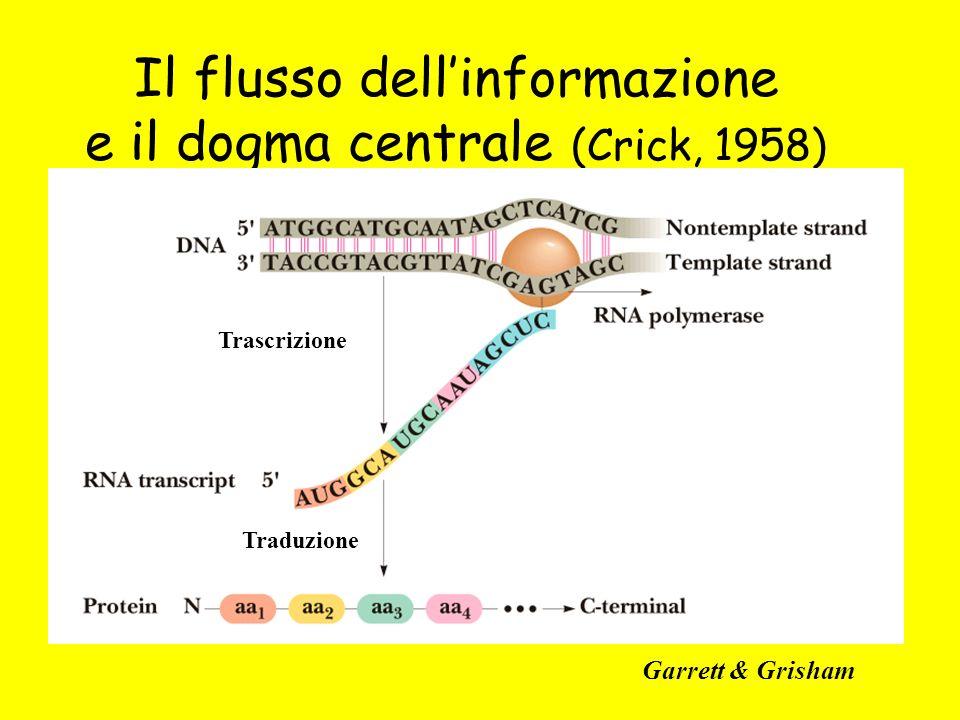 Il flusso dell'informazione e il dogma centrale (Crick, 1958)
