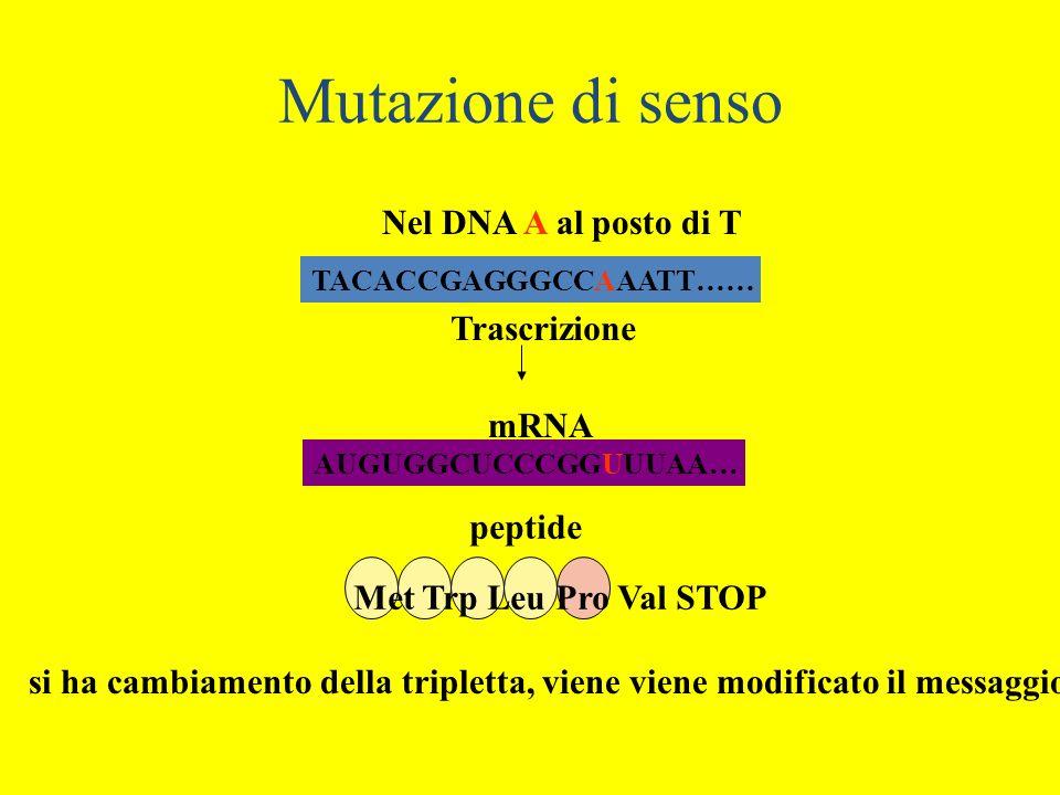 Mutazione di senso Nel DNA A al posto di T Trascrizione mRNA peptide