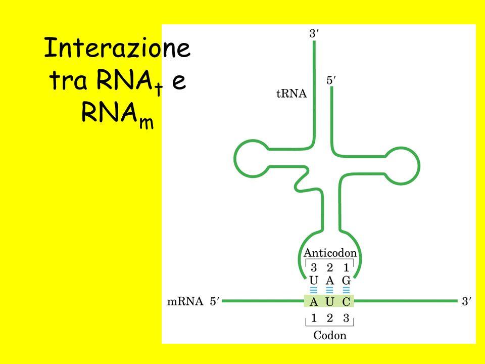 Interazione tra RNAt e RNAm