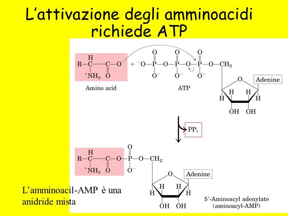 L'attivazione degli amminoacidi richiede ATP