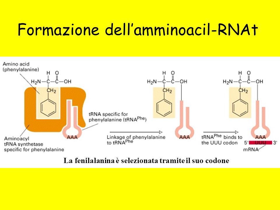 Formazione dell'amminoacil-RNAt