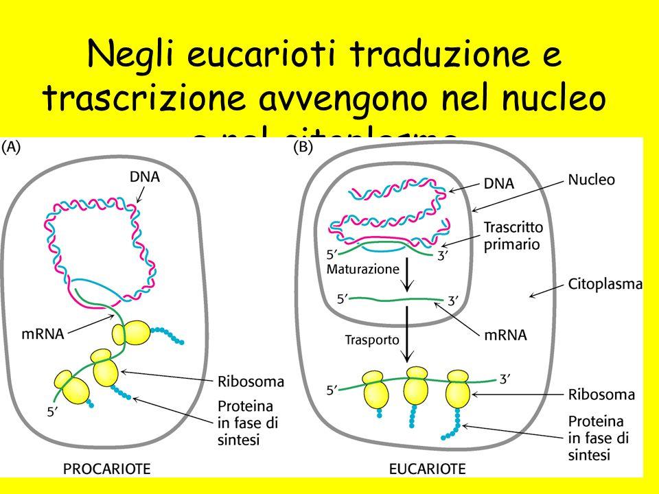 Negli eucarioti traduzione e trascrizione avvengono nel nucleo e nel citoplasma
