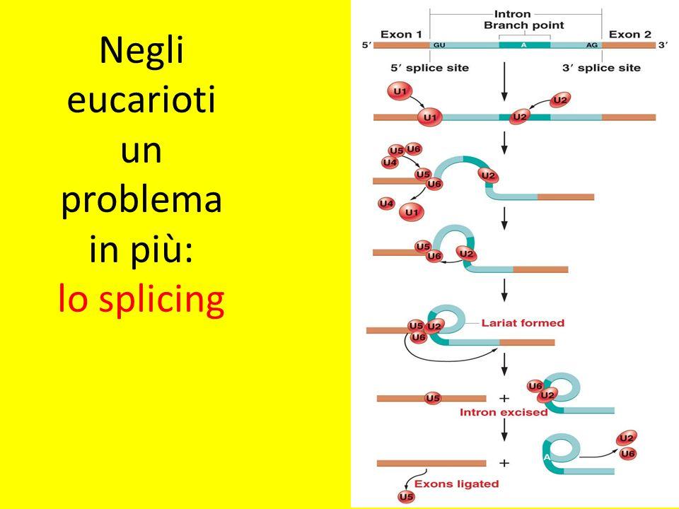 Negli eucarioti un problema in più: lo splicing