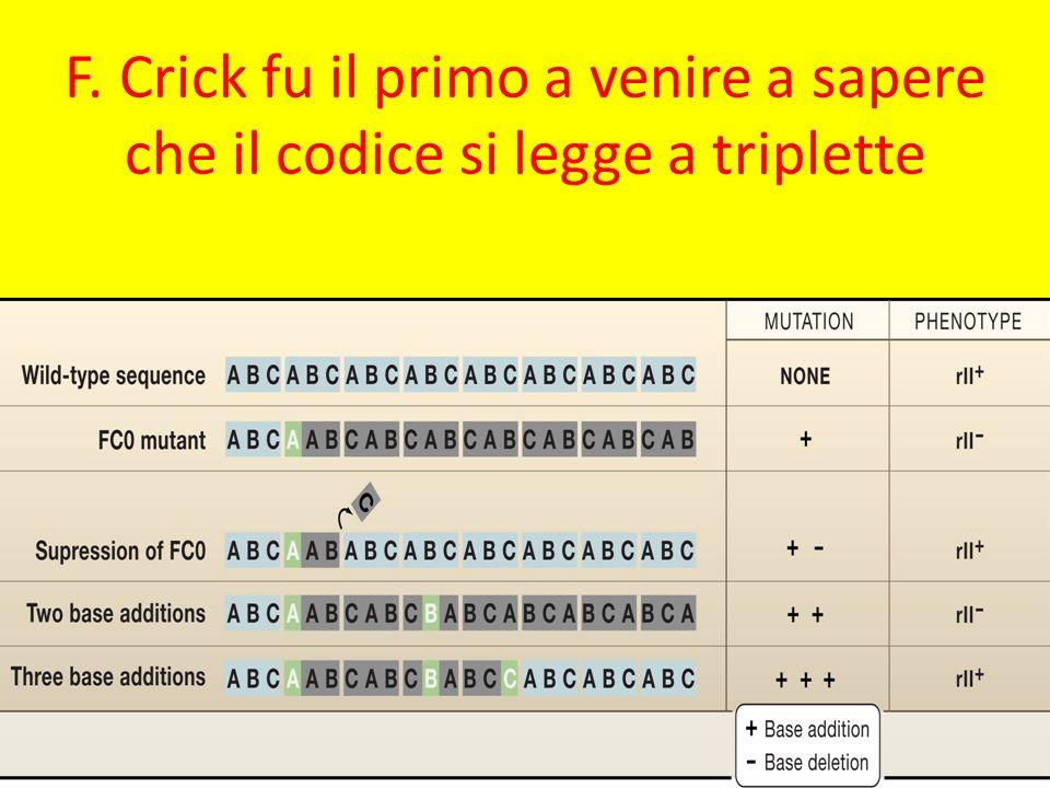 F. Crick fu il primo a venire a sapere che il codice si legge a triplette