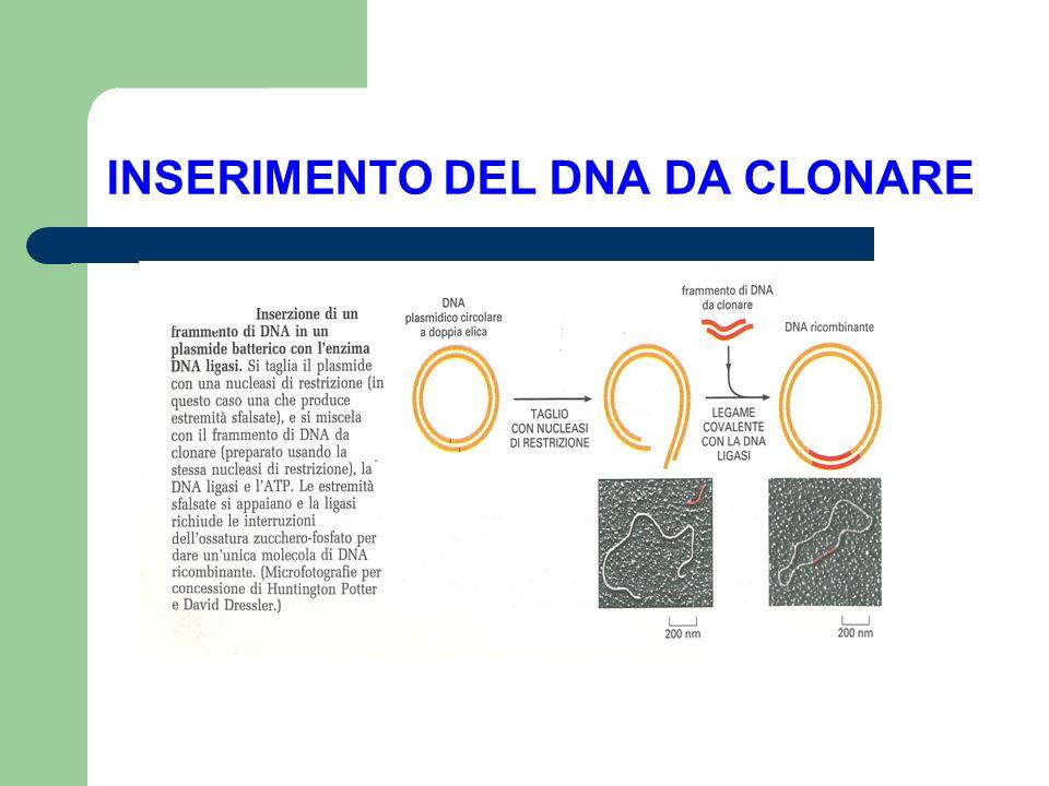 INSERIMENTO DEL DNA DA CLONARE