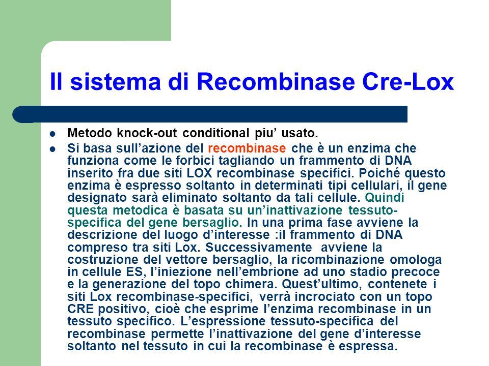Il sistema di Recombinase Cre-Lox
